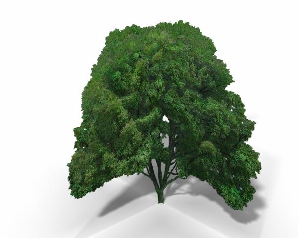 Big Leaf Maple Tree